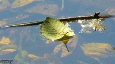 floating leaf 1